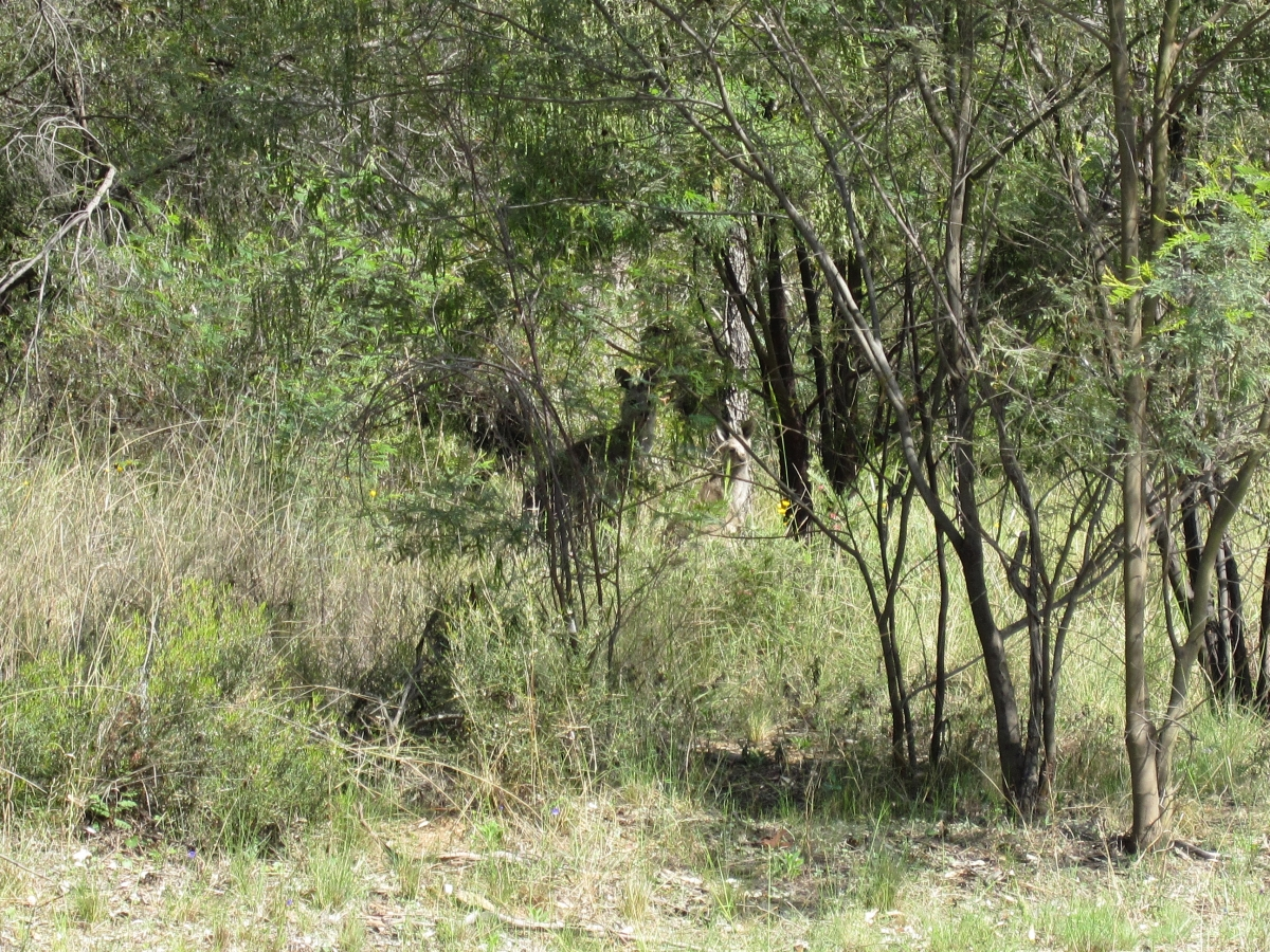 Some wild kangaroos in the bush just to prove it really was in Australia.